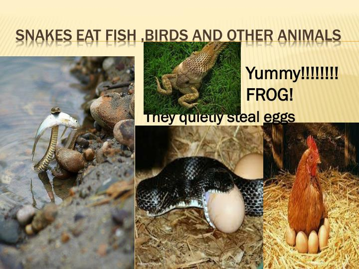 Snakes eat fish ,birds and other animals