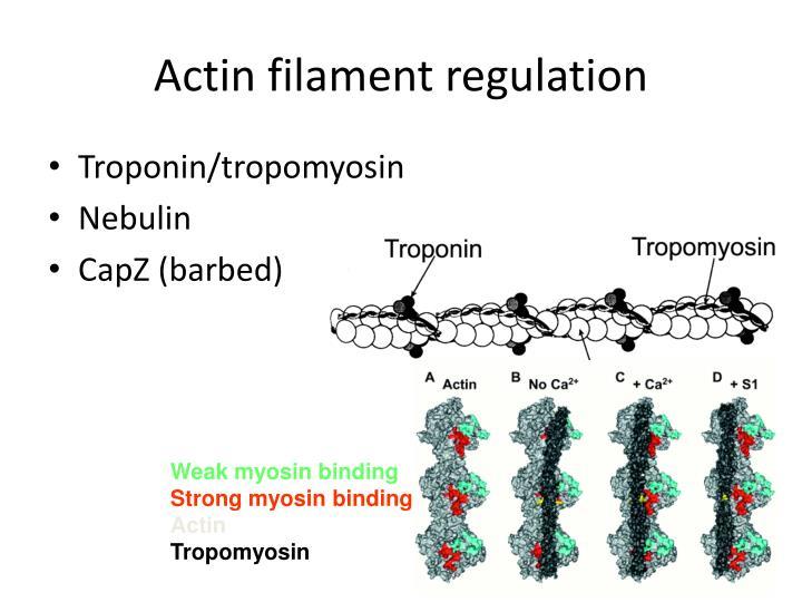 Actin filament regulation