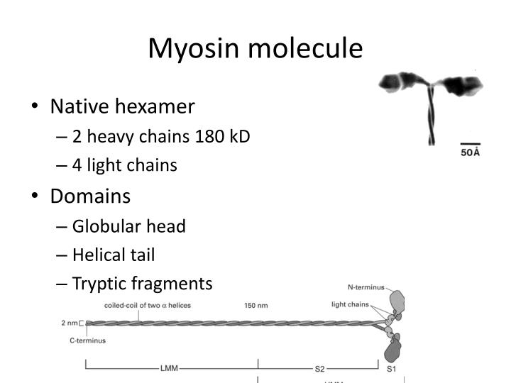 Myosin molecule
