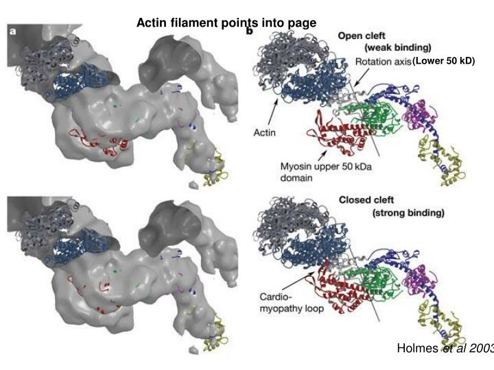 Actin filament points into page