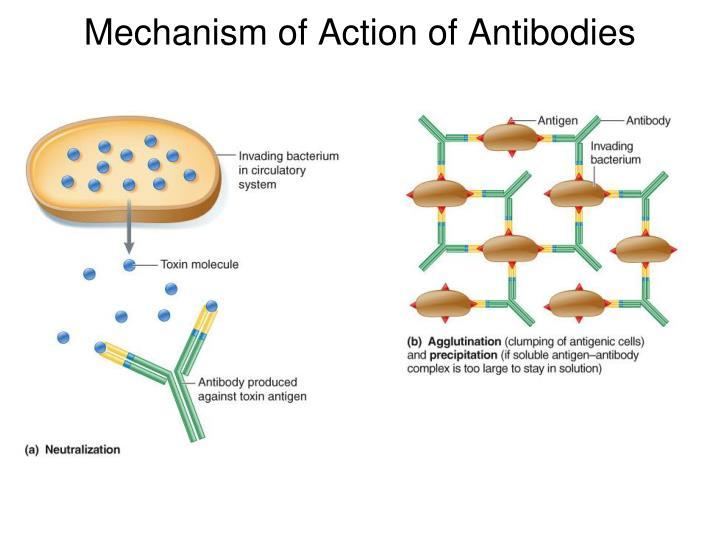 Mechanism of Action of Antibodies