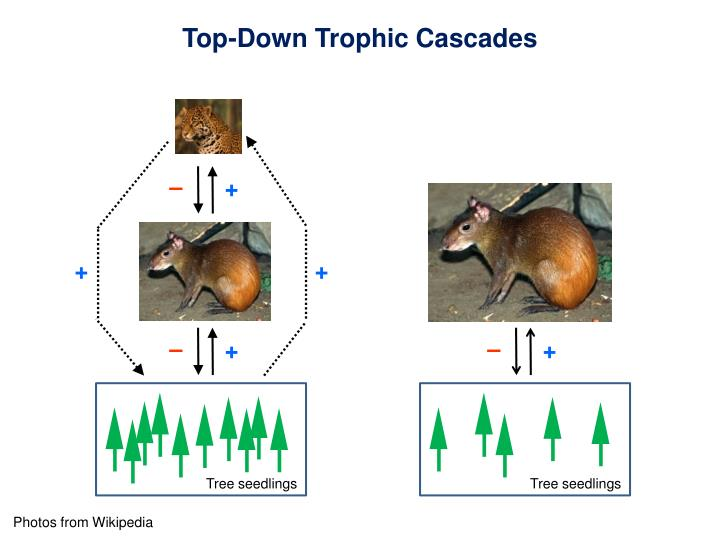 Top-Down Trophic Cascades