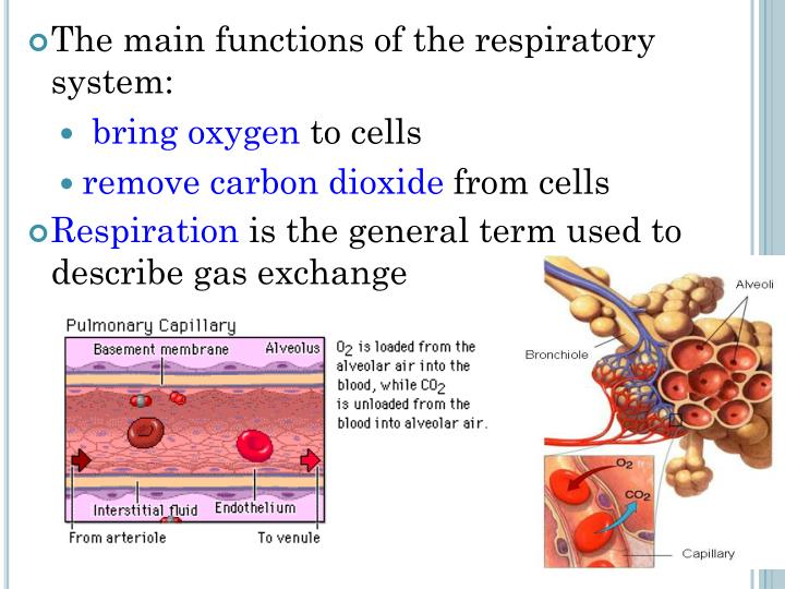 PPT - Chapter 7.1 – Structures of the Respiratory System PowerPoint ...