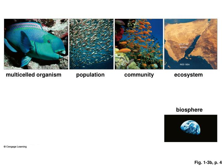 Multicelled organism