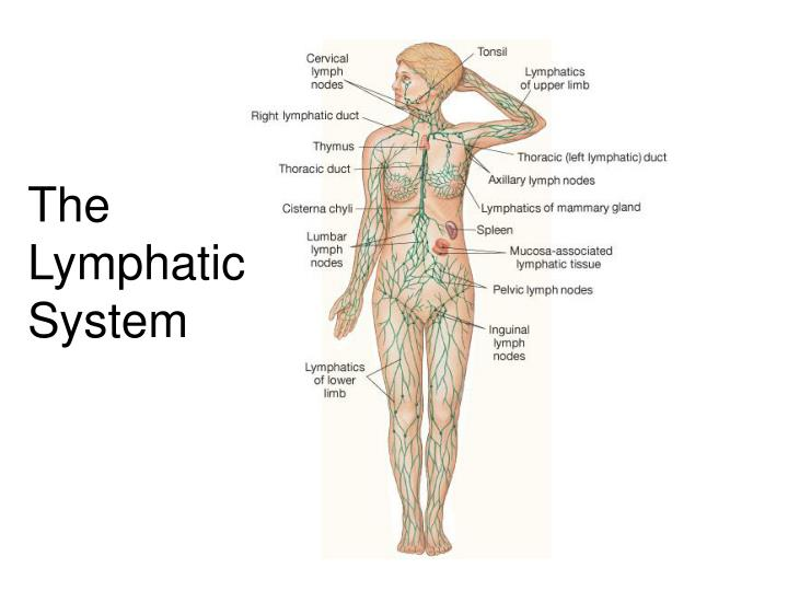 the role and importance of the lymphatic system The lymphatic system consists of a fluid (lymph), vessels that transport the lymph, and organs that contain lymphoid tissue lymph is a fluid similar in composition to blood plasma it is derived from blood plasma as fluids pass through capillary walls at the arterial end.