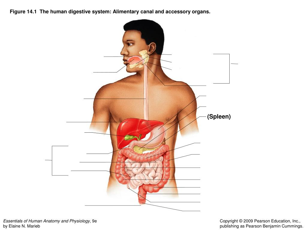 Ppt Figure 141 The Human Digestive System Alimentary Canal And