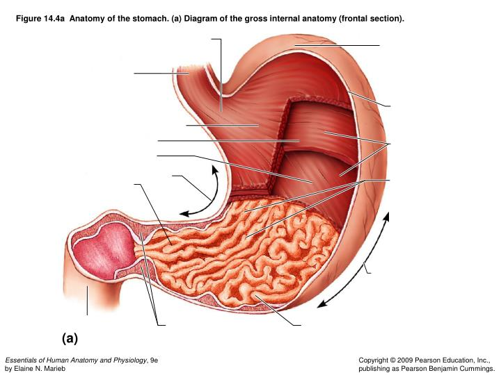 Ppt figure 141 the human digestive system alimentary canal and figure 144a anatomy of the stomach a diagram of the gross ccuart Gallery
