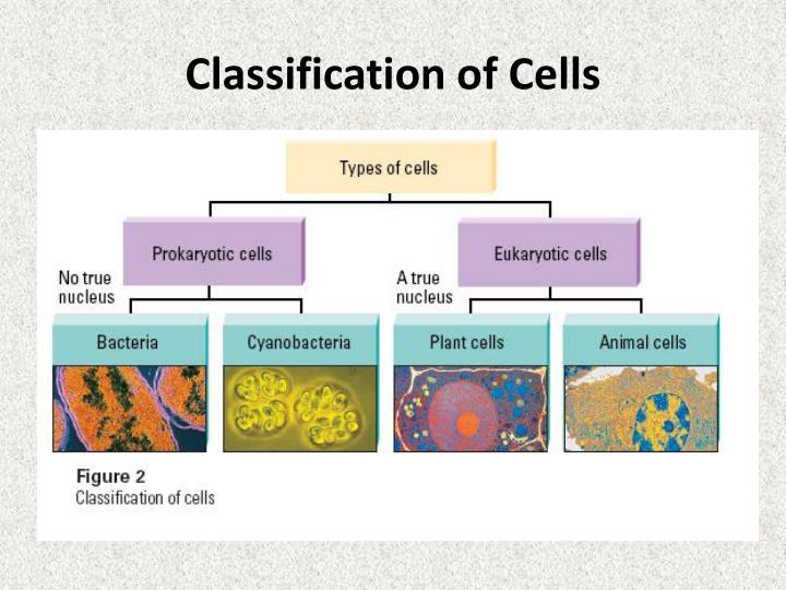Classification of cells