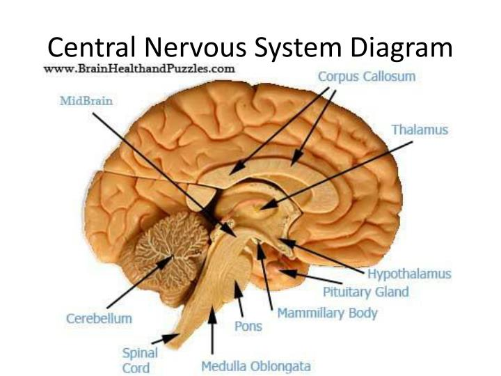 Central Nervous System Diagram Simple : Nervous System ...