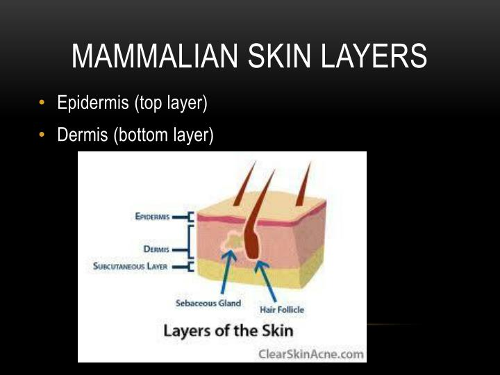 Mammalian skin layers