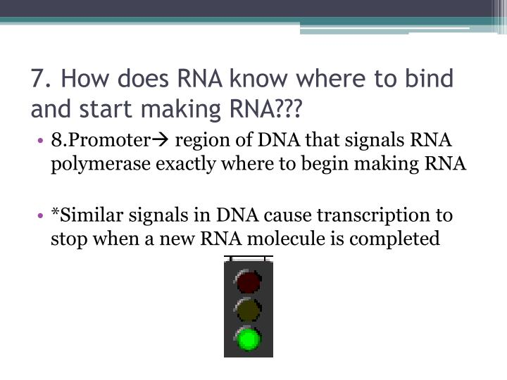 7. How does RNA know where to bind and start making RNA???