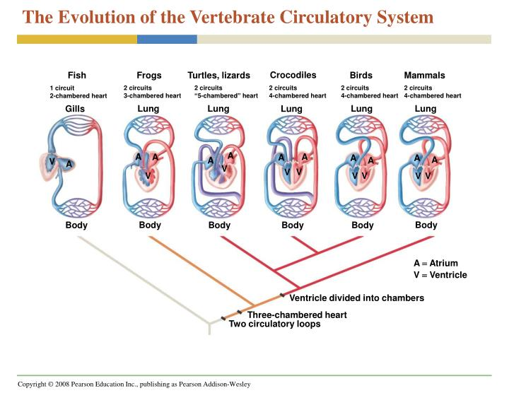 Turtle Circulatory System - Best Turtle 2018