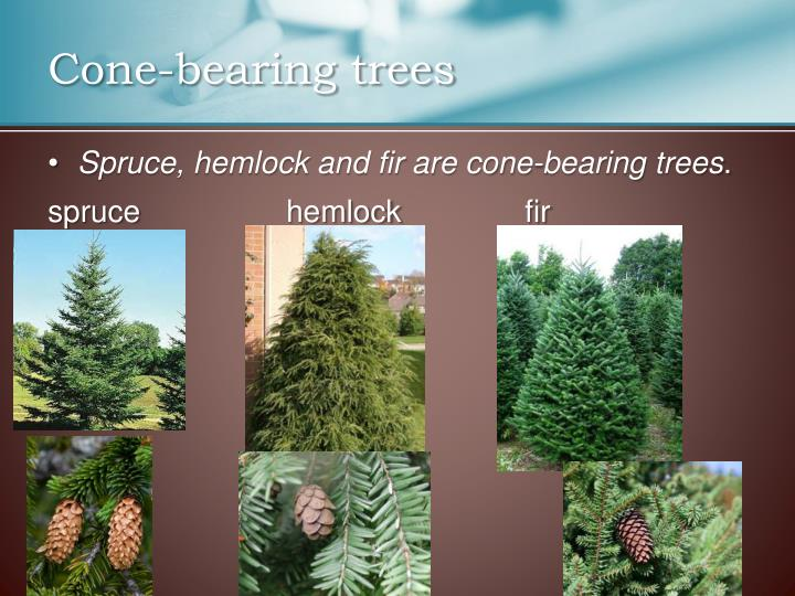 Cone-bearing trees