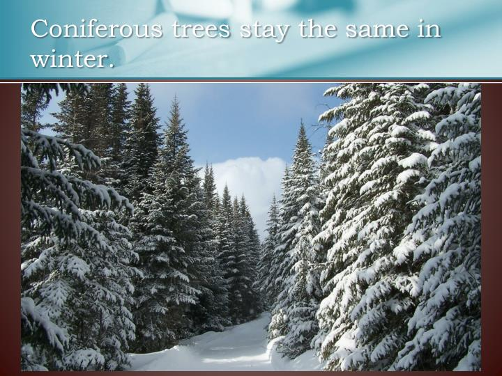 Coniferous trees stay the same in winter.