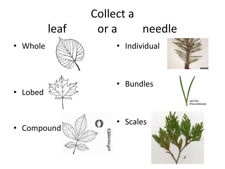 Collect a leaf or a needle
