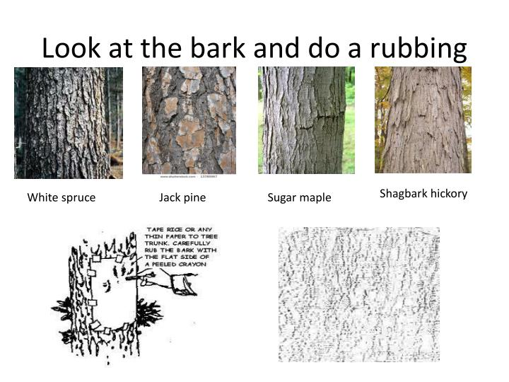Look at the bark and do a rubbing