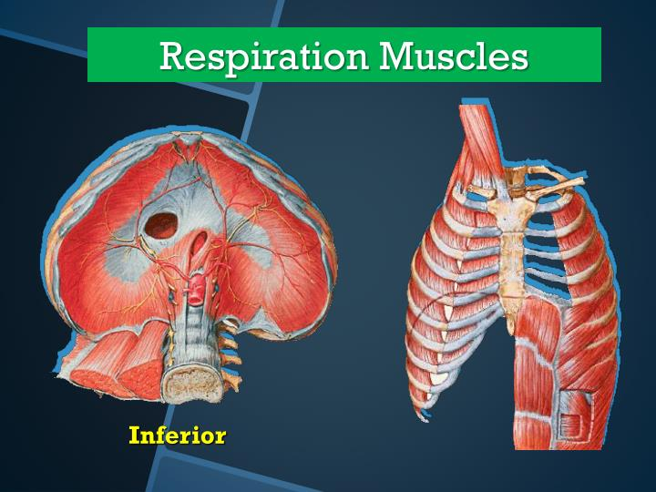 Respiration Muscles