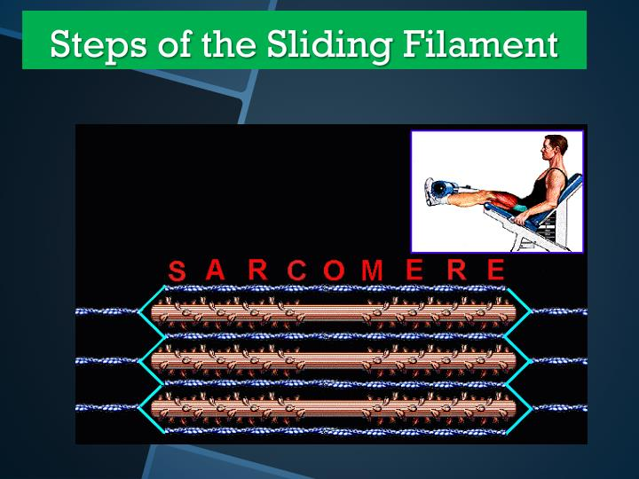 Steps of the Sliding Filament