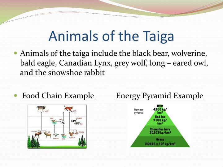 ppt the taiga biome presented by anish agarwal powerpoint