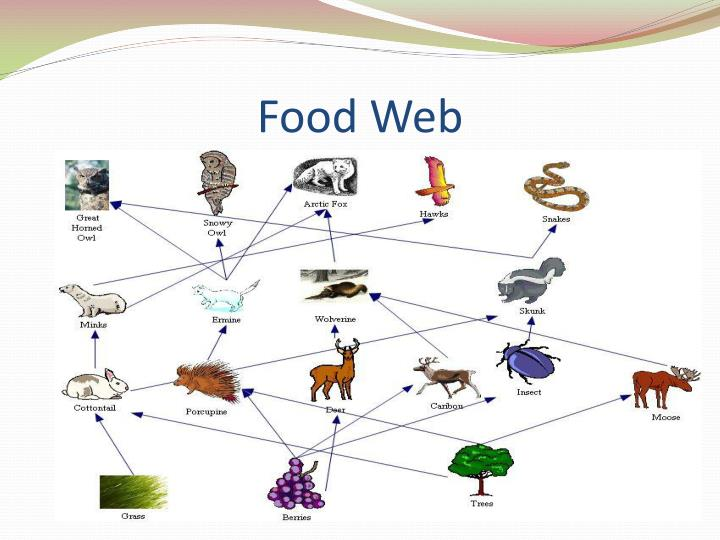 Tundra 7975243 likewise Biome Tundra Project Inspiration Presentation XuWPqx3Akp moreover 2013 07 03 further The Arctic Ecosystem 40392939 together with Climate. on tundra biome food web