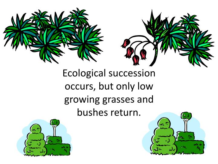 Ecological succession occurs, but only low growing grasses and bushes return.