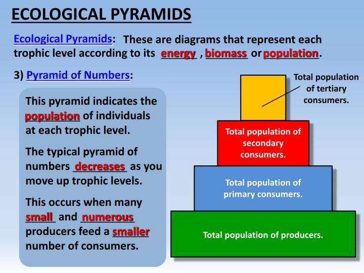 in a ecological pyramid what happens to energy
