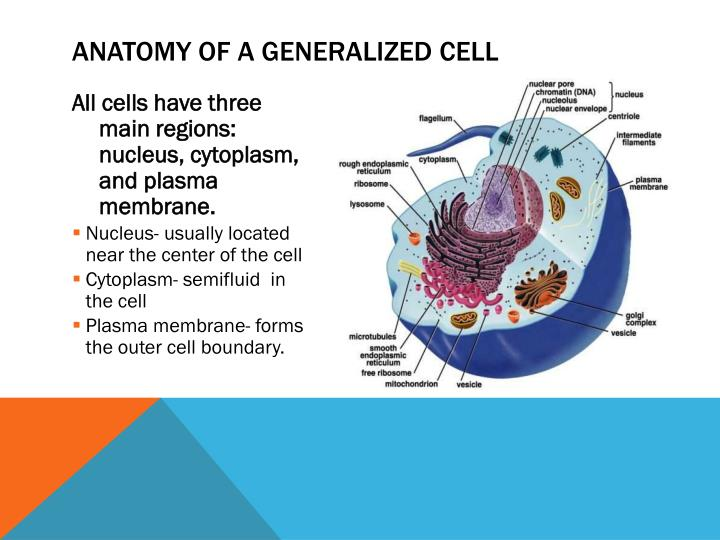 Anatomy of a Generalized Cell