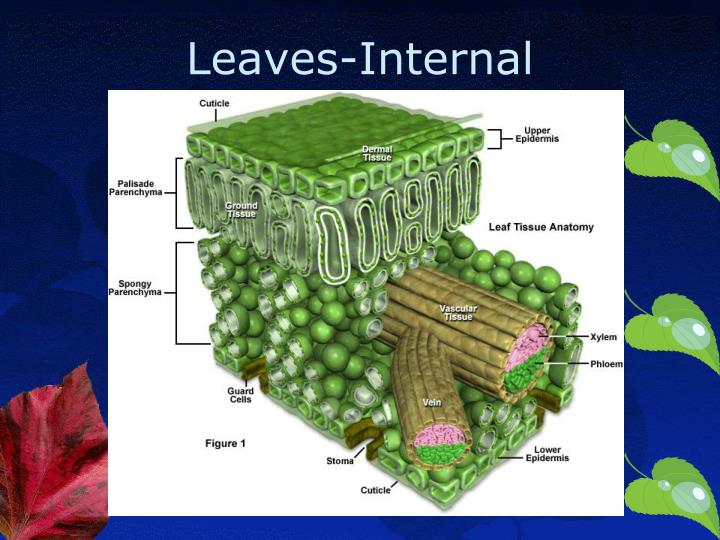 Fancy Leaf Tissue Anatomy Picture Collection Anatomy And