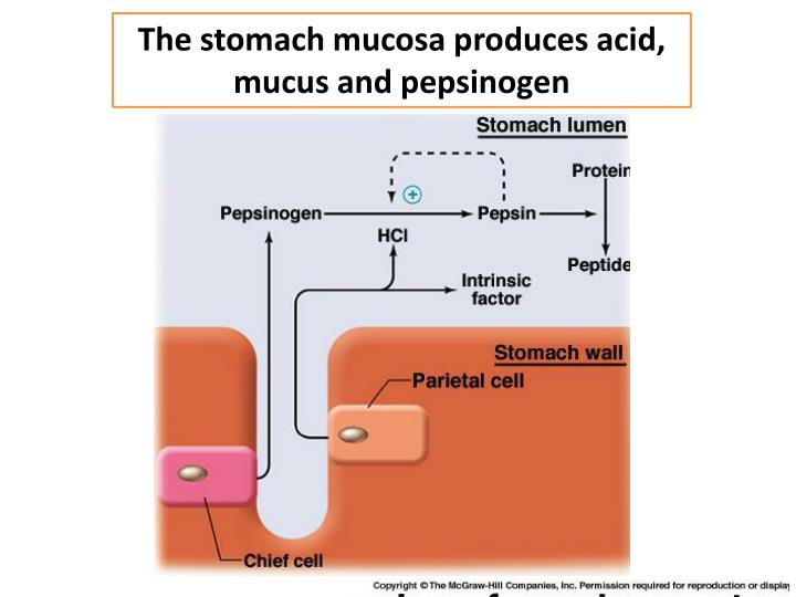 The stomach mucosa produces acid, mucus and