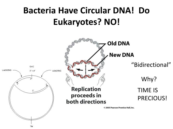 Ppt chapter 7 part 1 the blueprint of life from dna to bacteria have circular dna do eukaryotes no malvernweather Images