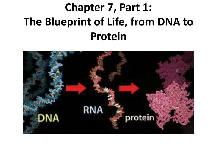 Ppt chapter 7 part 1 the blueprint of life from dna to chapter 7 part 1the blueprint of life from dna to protein malvernweather Images