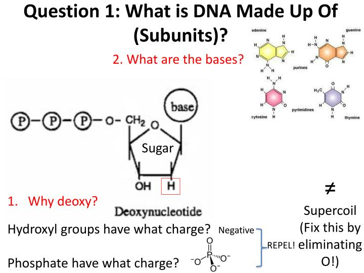 Ppt chapter 7 part 1 the blueprint of life from dna to question 1 what is dna made up of subunits malvernweather Images