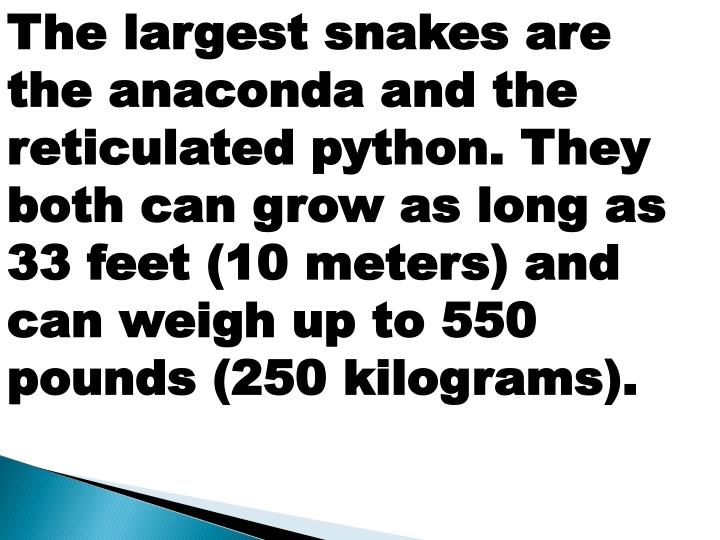 The largest snakes are the anaconda and the reticulated python. They both can grow as long as 33 feet (10 meters) and can weigh up to 550 pounds (250 kilograms).