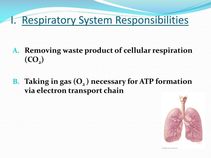I respiratory system responsibilities