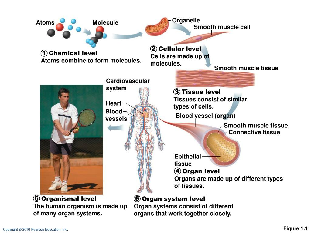 Ppt Cardiovascular System Powerpoint Presentation Id2432321