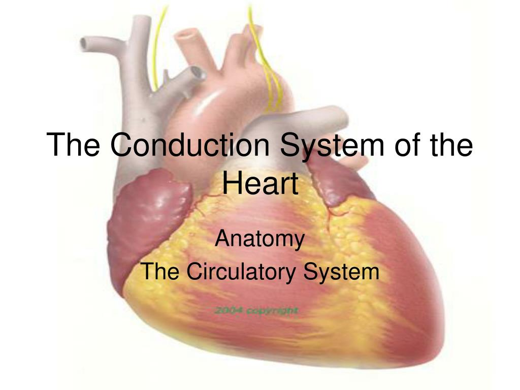 Ppt The Conduction System Of The Heart Powerpoint Presentation