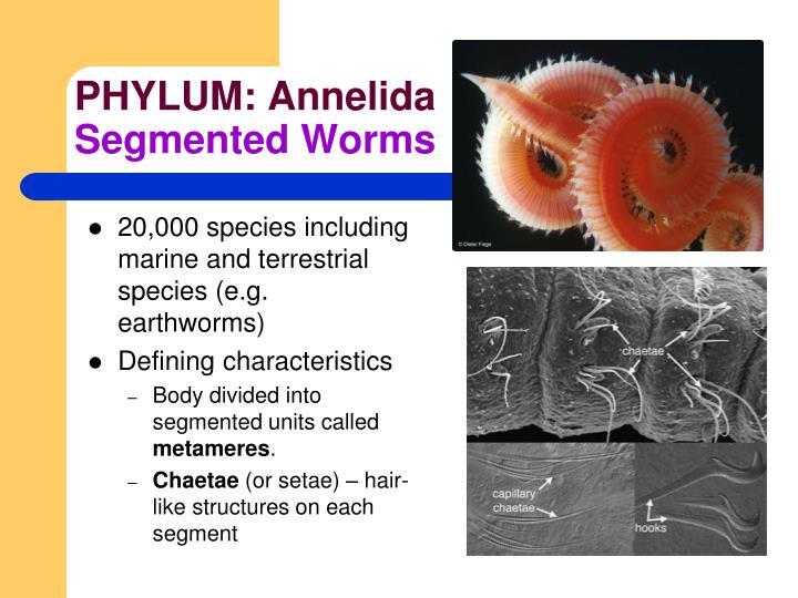 essay on phylum annelida Data papers citizen science phylum annelida name homonyms annelida common names anelídeo in portuguese annelid worms in.