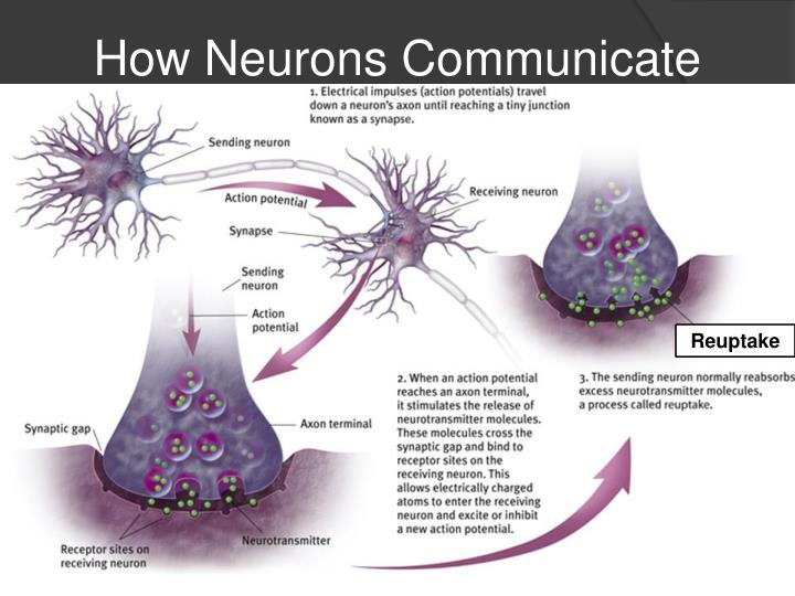 how an impulse travels down a neuron