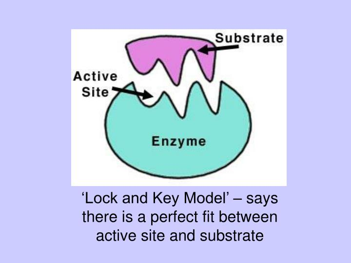 'Lock and Key Model' – says there is a perfect fit between active site and substrate