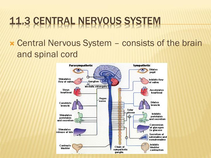 Central Nervous System – consists of the brain and spinal cord