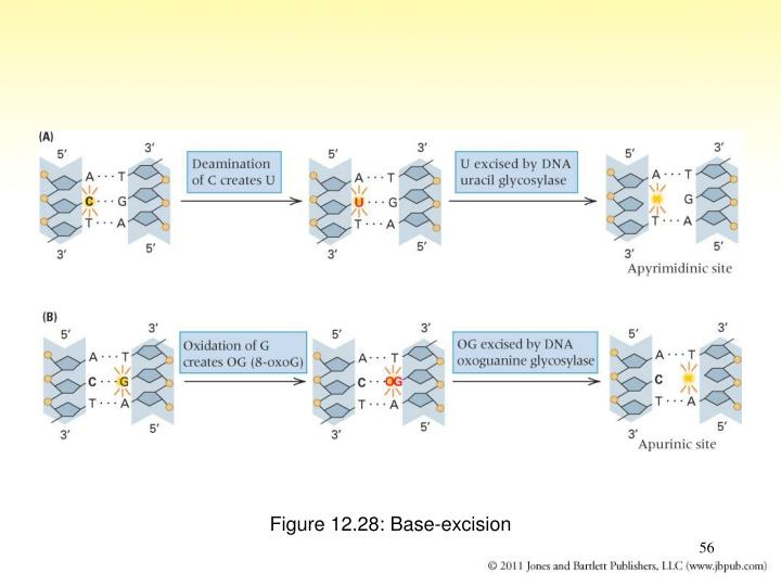 Figure 12.28: Base-excision