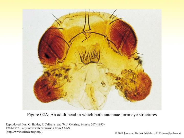 Figure 02A: An adult head in which both antennae form eye structures