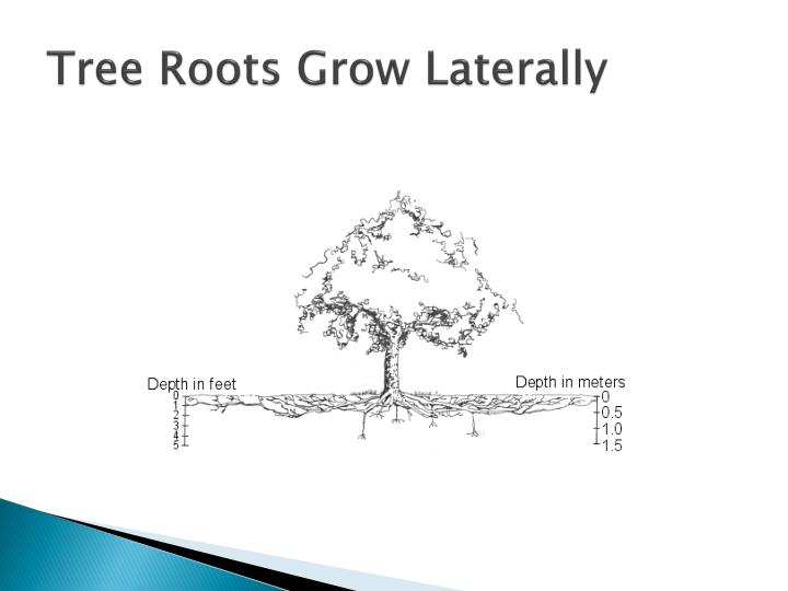 Tree Roots Grow Laterally