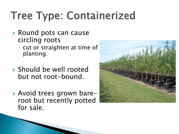 Tree Type: Containerized