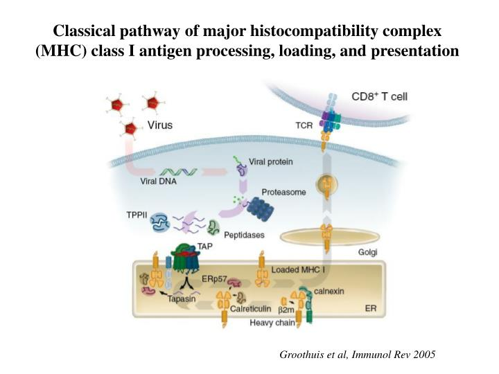 Classical pathway of major histocompatibility complex (MHC) class I antigen processing, loading, and...