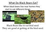 what do black bears eat4