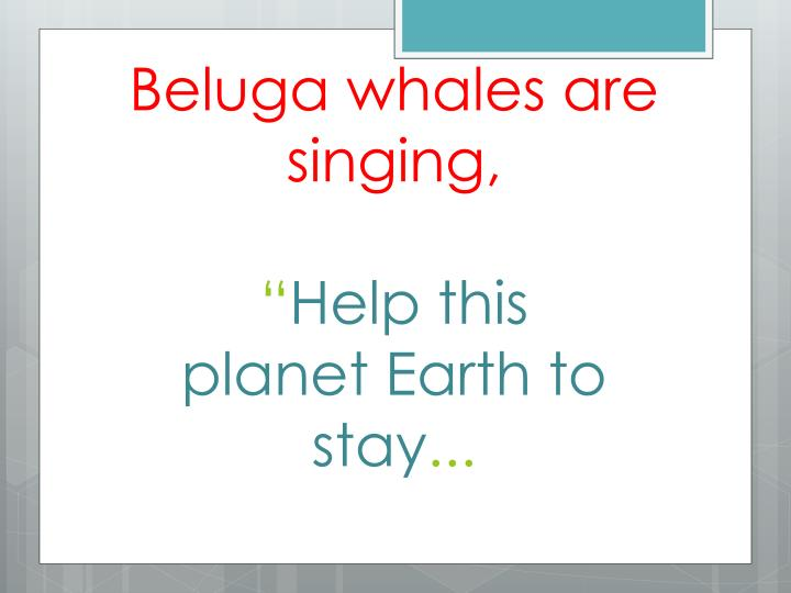 Beluga whales are singing,