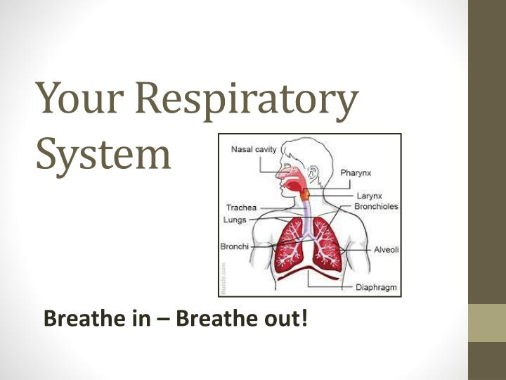 your respiratory system n.