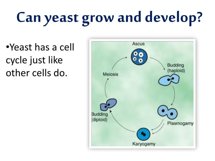 Can yeast grow and develop?