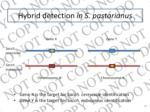 hybrid detection in s pastorianus